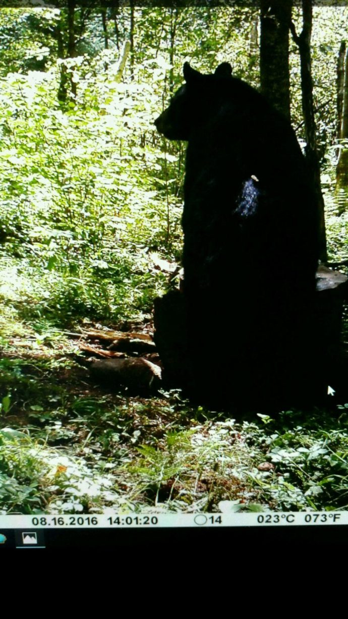 bear-trail-camera